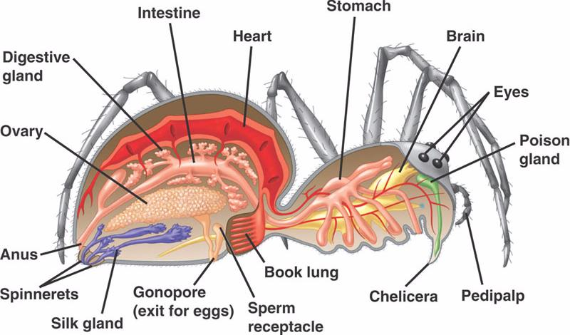 Crayfish Anatomy Diagram Images Human Body Anatomy